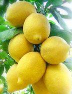 limoniSorrento1